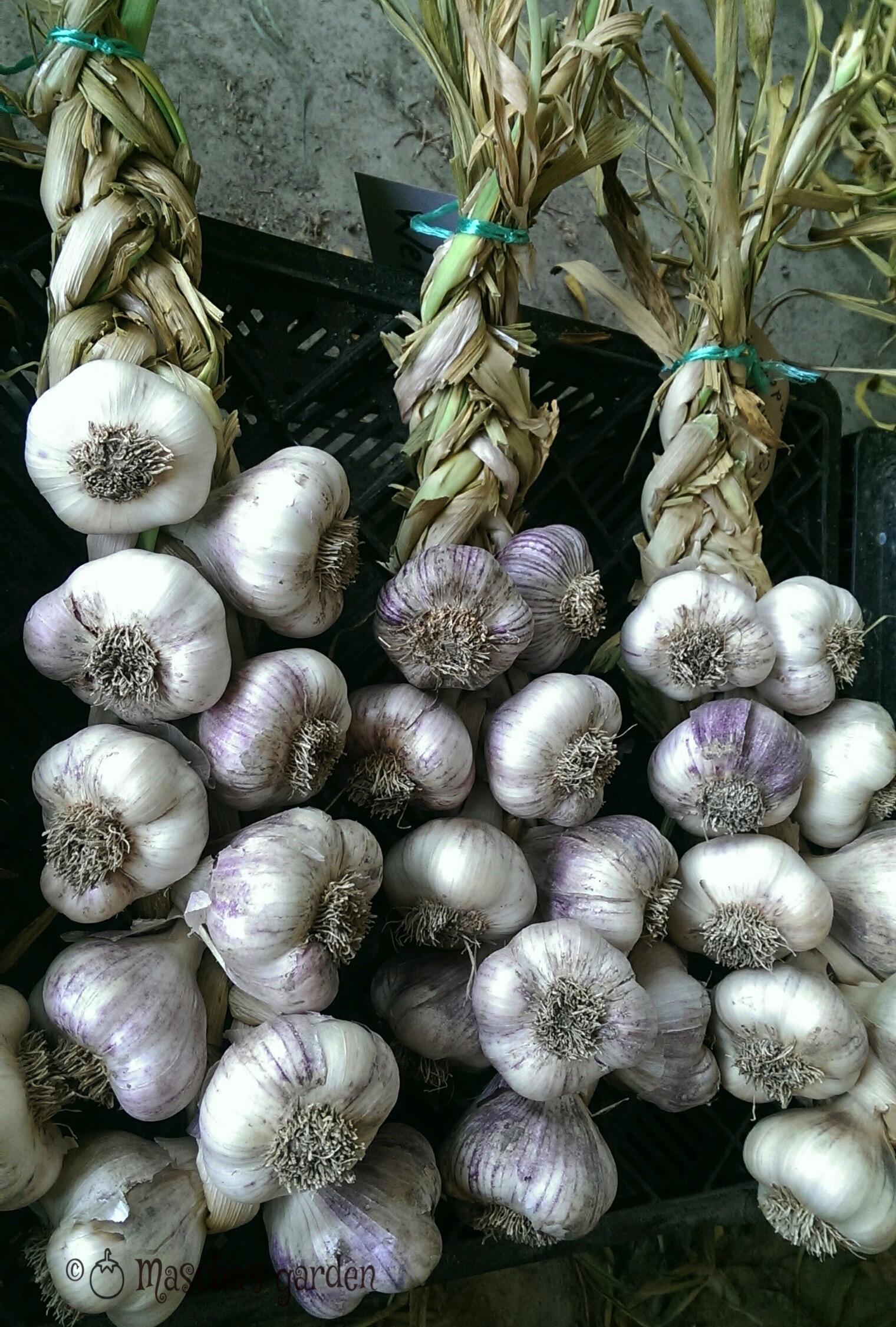 garlic plait gawler
