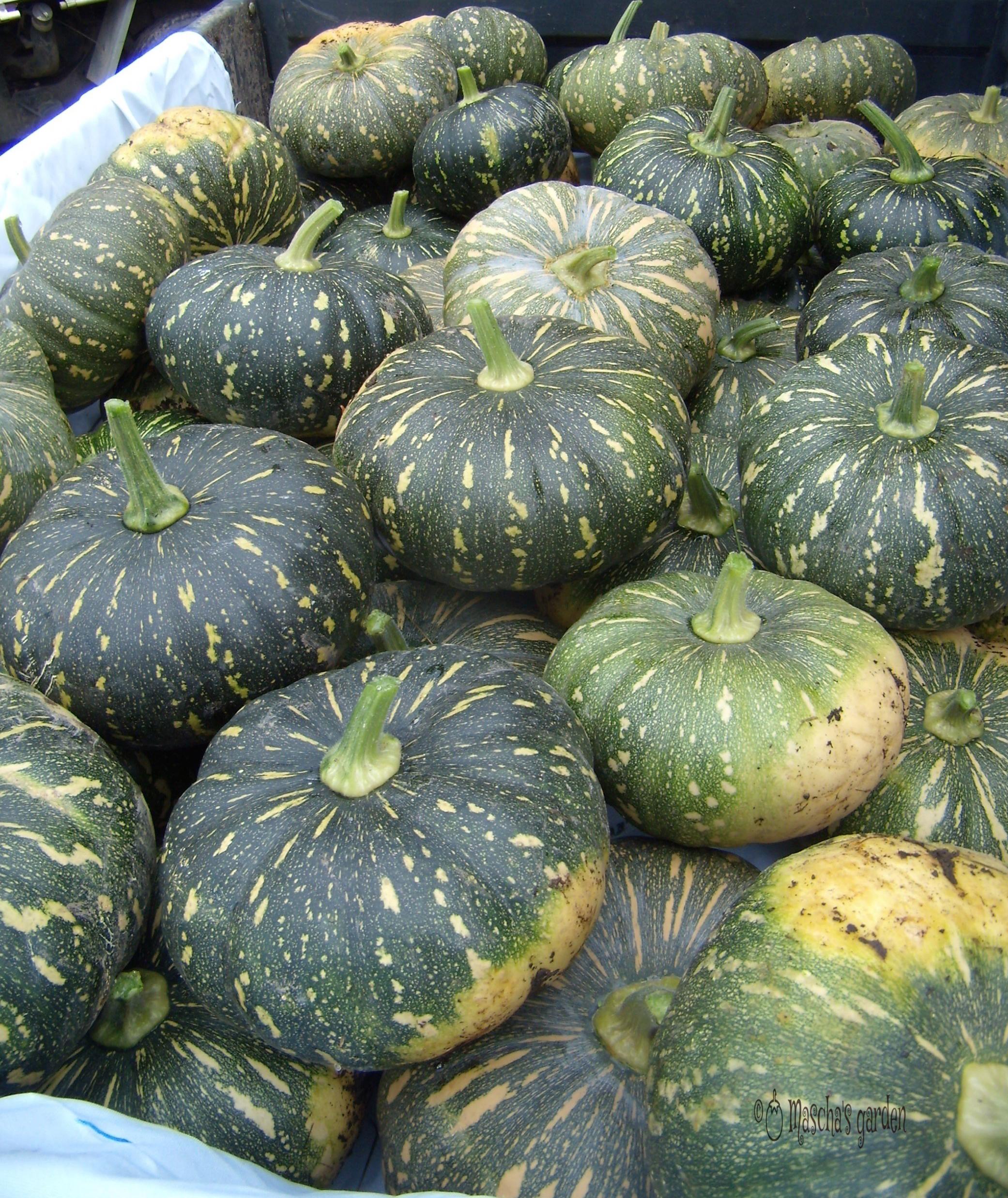 jap-pumpkin-harvest.jpg