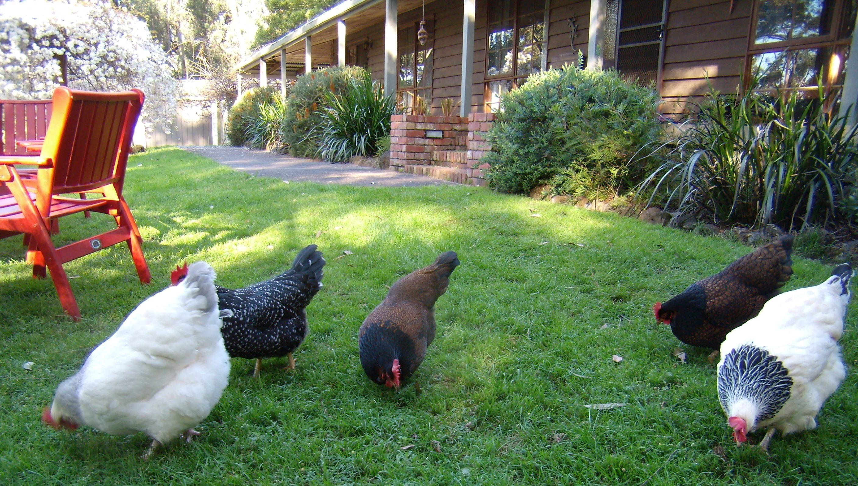 the chicken moult mascha u0027s garden