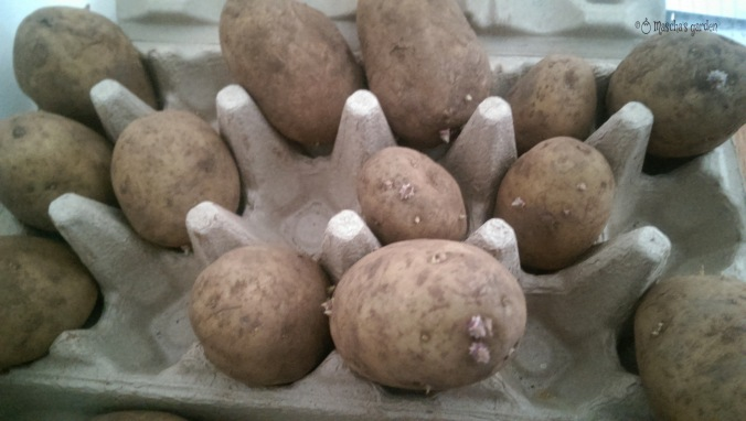 potato chitting