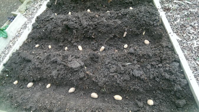 potatoes laid out