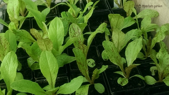 Seedlings ready to plant